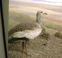 Female Great Bustard
