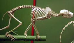 Potto skeleton